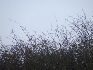 Birds in hedgerow possibly chaffinches