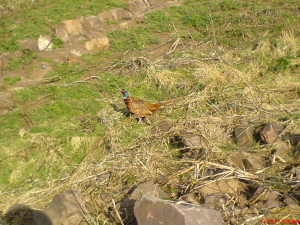 pheasant in holyrood