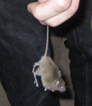 House mouse found scuffling in bin