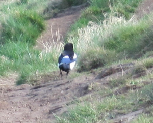 Magpie strutting down path