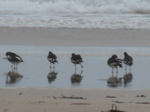 Oystercatchers at Mawgan Porth