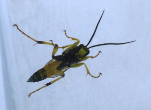 inchneumon wasp (revised)