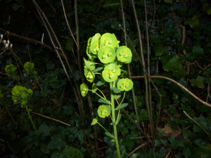 Spurge of some kind