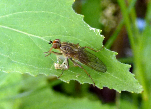 Yellow Dung Fly?