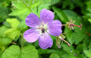 Some sort of Cranesbill?