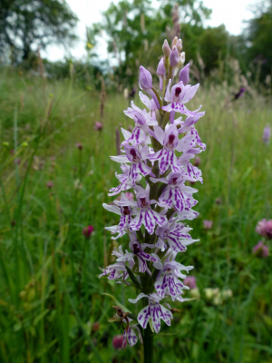 Is this a Common Spotted-orchid too?