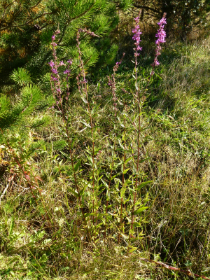 Purple Loosestrife?