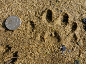 Not known animal track
