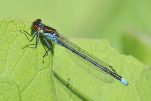 Male Red Eyed Damselfly