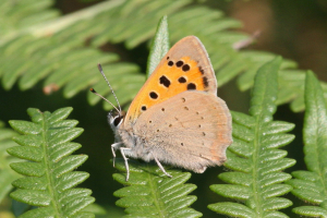 Small Copper underside