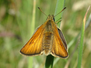Small Skipper or Large Skipper ?
