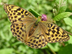 Female Silver-washed Fritillary ?