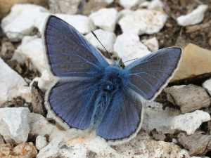 Common Blue Butterfly ?