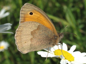 Meadow Brown underside