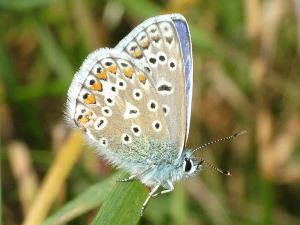 Common Blue Butterfly underside