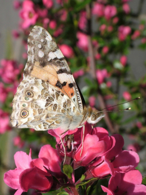 Painted Lady underside