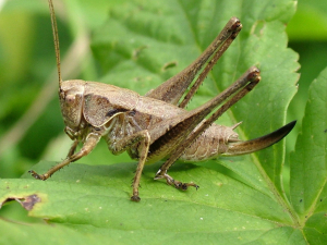 Female Dark Bush Cricket