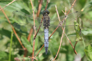 Male Black-tailed Skimmer