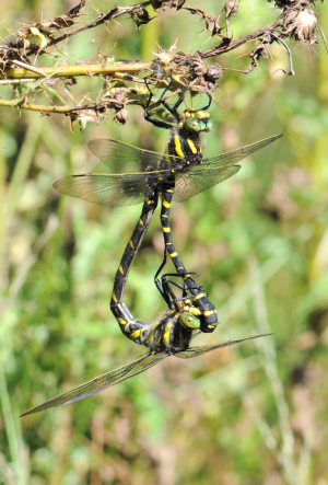 Mating Golden-ringed Dragonflies
