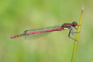 Male Large Red Damselfly