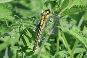 Female Club-tailed Dragonfly