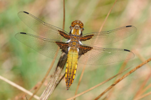 Immature male Broad-bodied Chaser