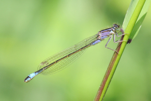 Female Blue-tailed Damselfly (form violacea)