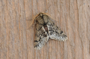Small Brindled Beauty