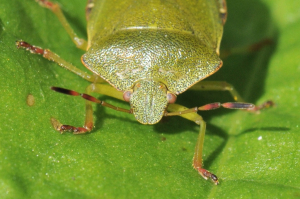 Green Shieldbug close up