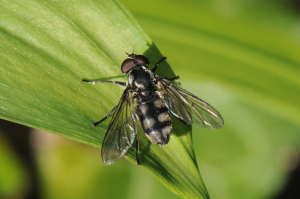 Ramson's Hover Fly