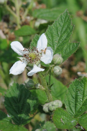 Bramble in flower