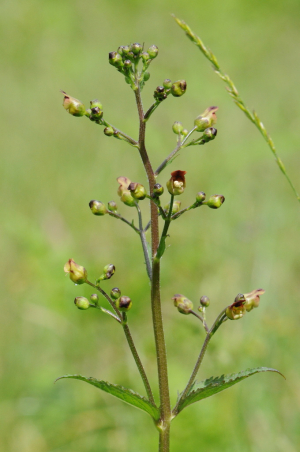 Common Figwort