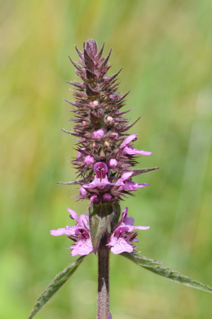 Marsh Woundwort