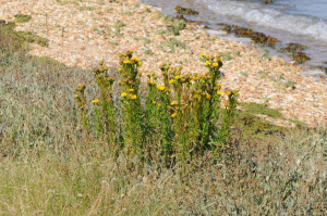 Golden-samphire