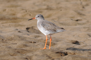 Common Redshank