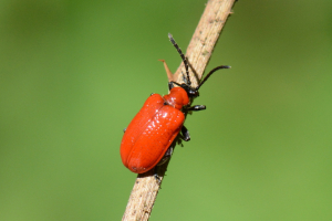 Lily Beetle