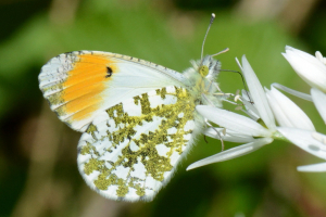 Orange-tip (male)