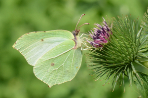 Brimstone - Male and Female
