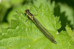 Red-Eyed Damselfly (immature female)