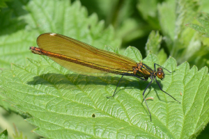 Beautiful Demoiselle