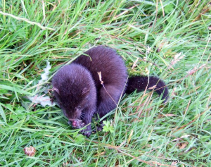 Young Mink