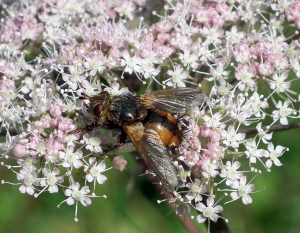Tachinid Fly - Tachina fera