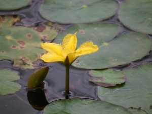 Fringed Water-lily