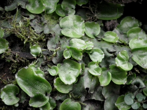 Great Scented Liverwort