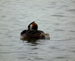 Great Created Grebe