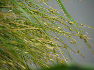 Remote Sedge