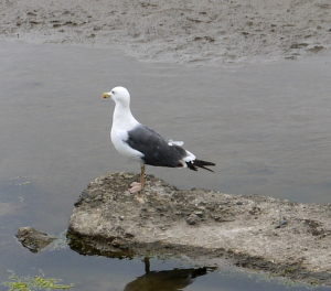 Great Black-backed Gull ?