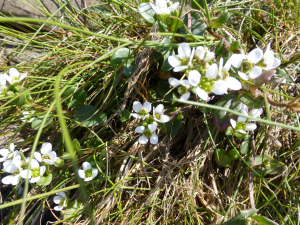 Atlantic Scurvey Grass
