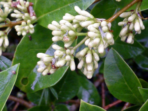 Garden Privet  - Ligustrum ovalifolium