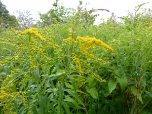 Canadian Goldenrod - Solidago canadensis